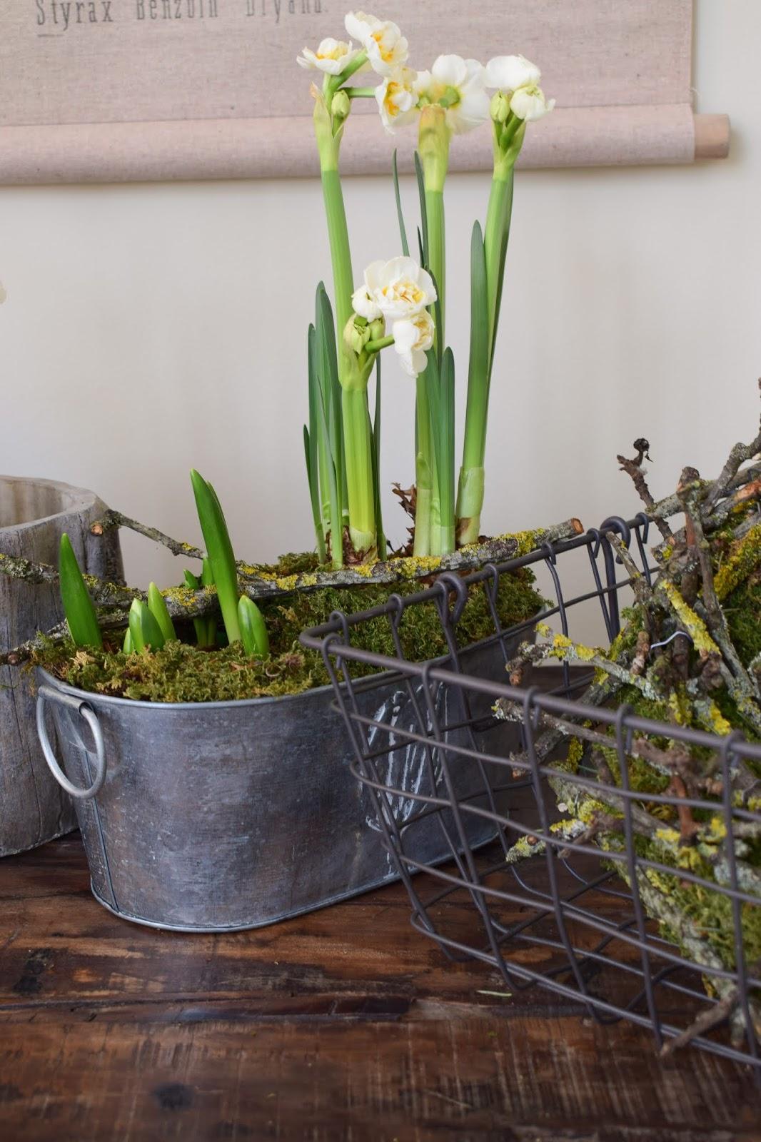 Narzisse bridal crown im Topf. Frühlingsblüher Frühlingsdeko mit Naturmaterialien Topfpflanze