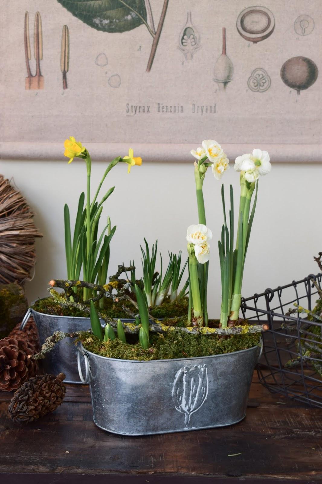 Die Narzisse Bridal Crown ist eine ganz besonders Schönheit. Sie hat zweifarbig gefüllte Blüten und ist somit definitiv ein Hingucker.  Die romantischen Blütenköpfe bringen ein ganz besonderes Flair in dein Zuhause.  Topf-Durchmesser: 10,5 cm