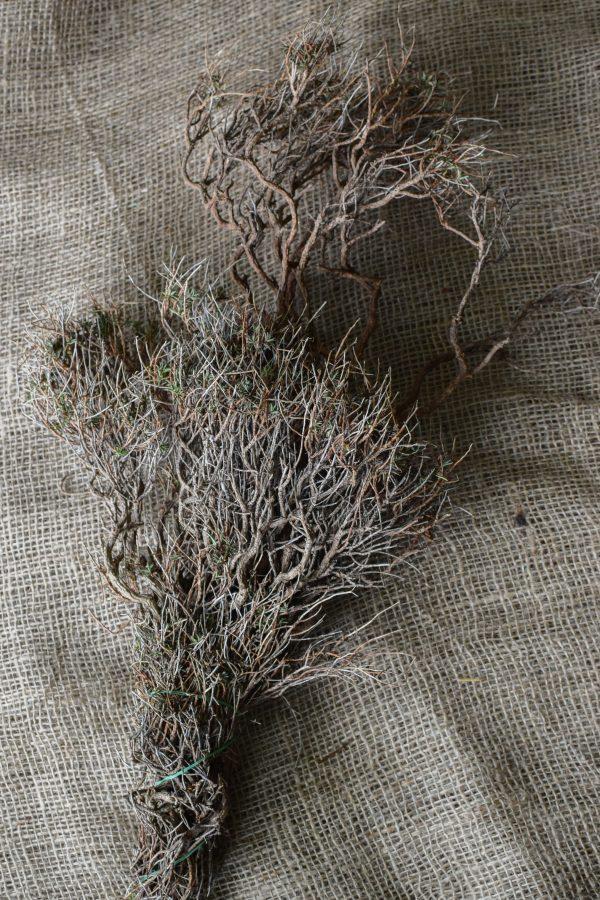 Euphorbia Spinoza getrocknet kaufen und dekorieren. Naturdeko selber machen. Natürlich dekorieren