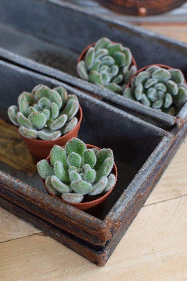 Naturdeko mit Mini Sukkulenten Echeveria vom Mrs Greenery Shop. Deko mit Pflanzen Pflanzendeko