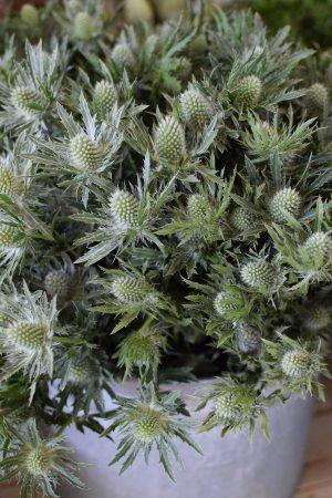 Disteln Sirius Questar grün: Deko mit Naturmaterial frisch und getrocknet Naturdeko Kreativsein Basteln Dekoidee