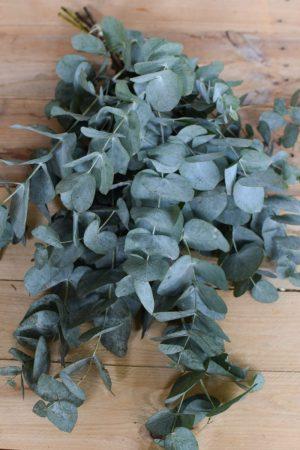 Eukalyptus Cinerea. Perfekt für Greenery Sträuße und Kränze. Trocknet wunderschön ein.