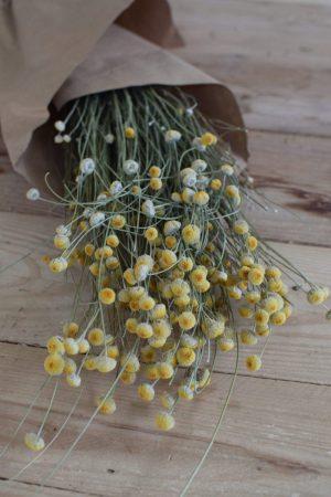 Papierknöpfchen Ammobium alatum Trockenblumen getrocknet Kranzbinden Kranz Kränze