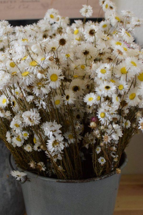 Strohblume Acroclinium weiß getrocknet im Bund Trockenblumen Kranz Kränze Kranzbinden