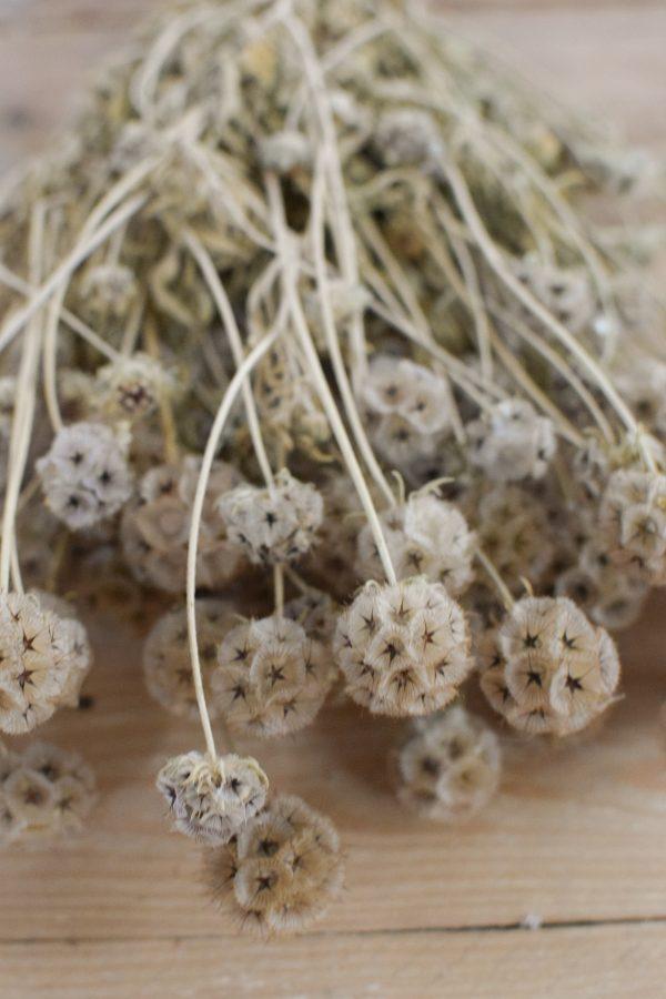 Deko mit Trockenblumen: Scabosia Taubenkraut getrocknet. Kranzbinden Deko mit Naturmaterialien