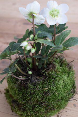 Christrose Schneerose Helleborus Winterdeko Frühlingsdeko weiße Blüte Deko dekoidee Naturdeko