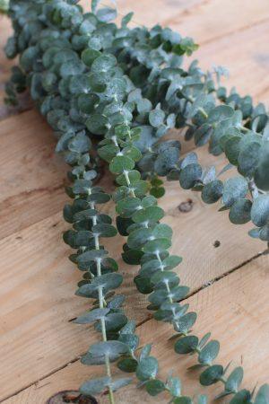 Eukalyptus Baby Blue lang. Perfekt für Greenery Sträuße und Kränze. Trocknet wunderschön ein.