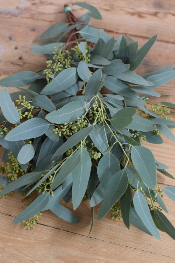 Eukalyptus Populus mkt Beeren Früchten. Perfekt für Greenery Sträuße und Kränze. Trocknet wunderschön ein.