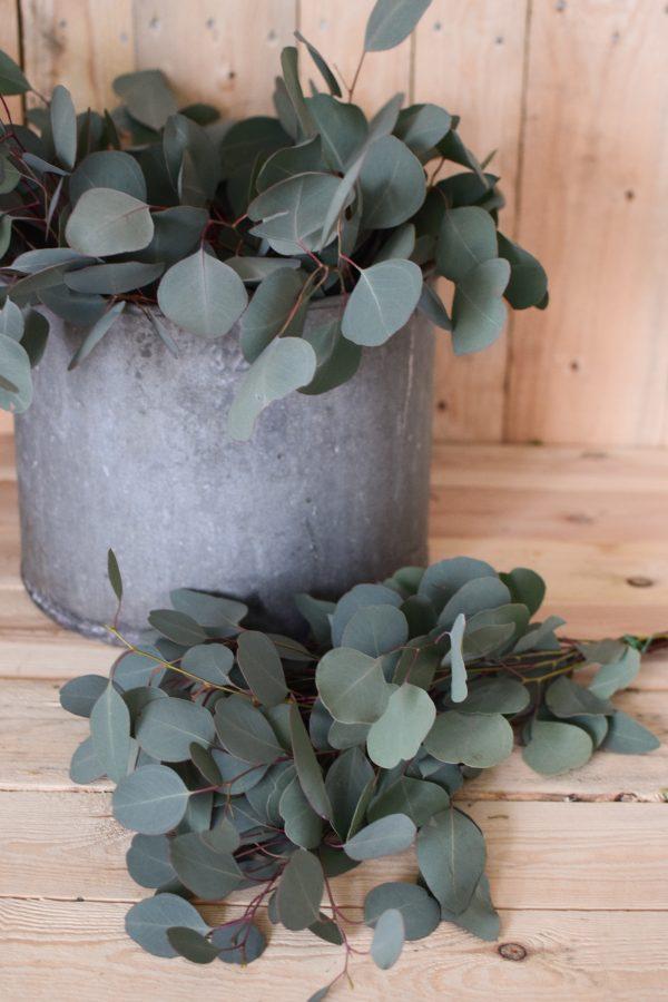 Eukalyptus Populus. Perfekt für Greenery Sträuße und Kränze. Trocknet wunderschön ein.
