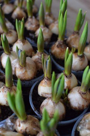 Muscari Traubenhyazinthe Hyazinthe im Topf. Frühlingsblüher Frühlingsdeko mit Naturmaterialien Topfpflanze