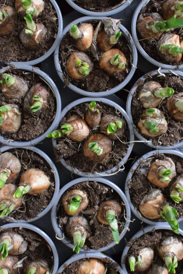 Narzisse im Topf. Frühlingsblüher Frühlingsdeko mit Naturmaterialien Topfpflanze