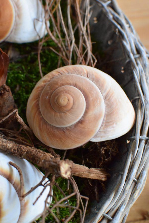 Schnecke Lamarkiana natur Naturdeko Kreativsein Schneckenhaus Basteln