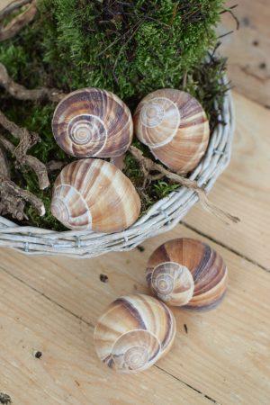 Weinbergschnecke natur groß. Naturdeko natürlich dekorieren Schnecke Schneckenhaus