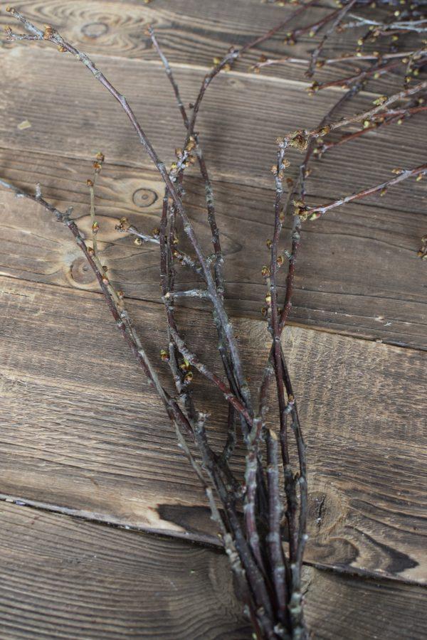 Ein Bund Kirschzweige. Frisch vorgetrieben Kirsche Zweige Äste Frühlingsblüher