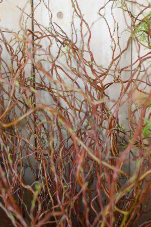 Korkenzieher Weide rot frisch ein bund