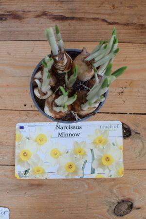 Narzizze Minnow mit weiße gelbe Blüten Frühlingsblüher Besonderheit