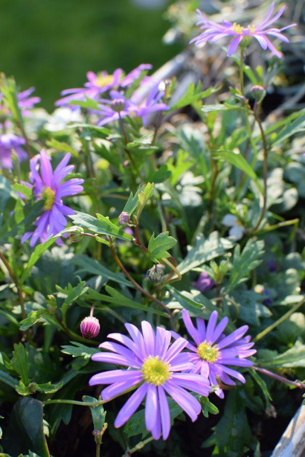 Topfpflanze online bestellen für Garten und Balkon bei Mrs Greenery australisches gänseblümchen