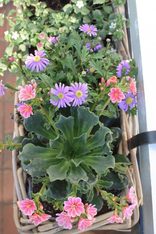 Topfpflanze online bestellen für Garten und Balkon bei Mrs Greenery Bitterwurz Porzellanröschen australisches gänseblümchen porzellanröschen