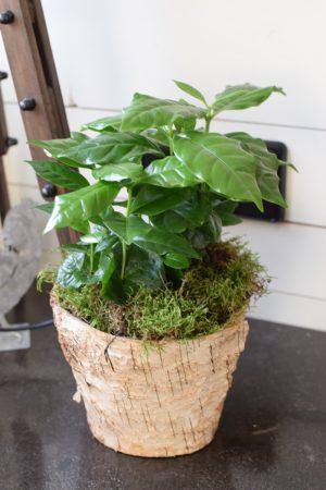 Kaffeepflanze Coffeea Arabica perfekt für deine Küche. Topfpflanze Zimmerpflanze online kaufen bestellen Mrs Greenery Shop