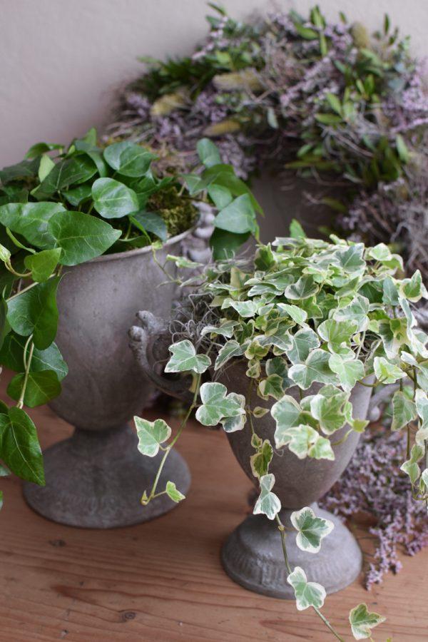 Efeu Topfpflanze Grünpflanze online bestellen Frisch
