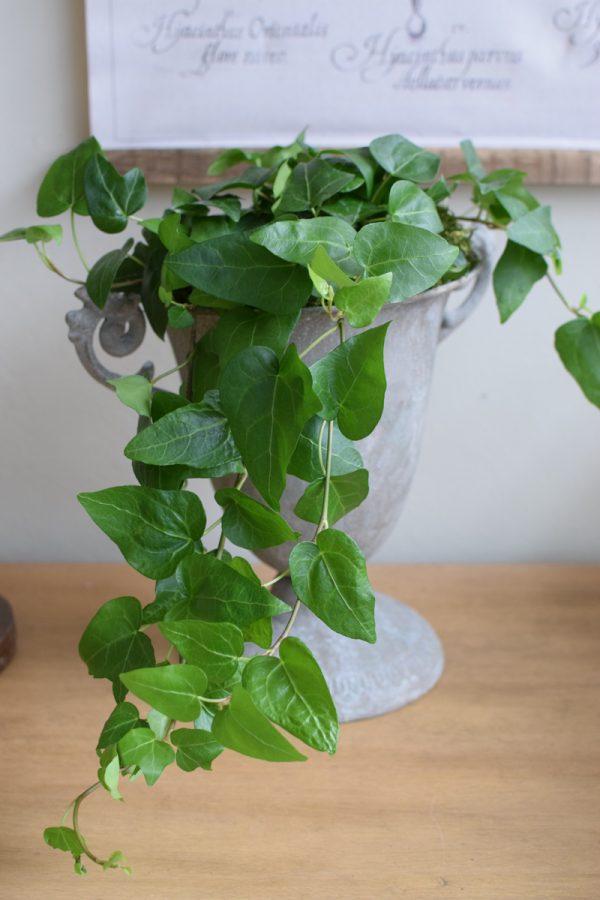 Efeu Topfpflanze Grünpflanze online bestellen Frisch Herzblatt Herzform Blatt Blätter