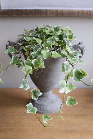 Efeu Topfpflanze Grünpflanze online bestellen Frisch weiss panaschiert