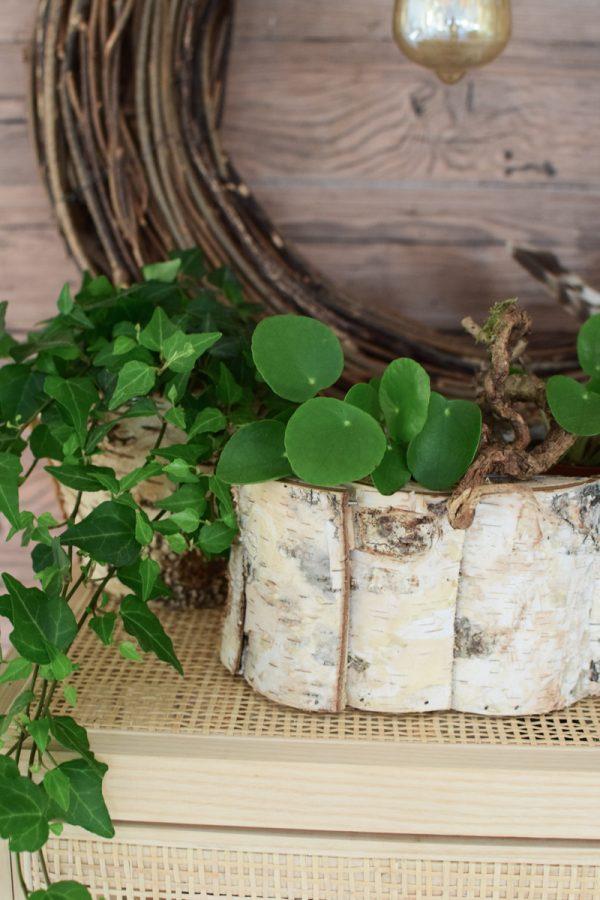Pilea Mini Trend Topfpflanze Pflanze Zimmerpflanze von Mrs Greenery