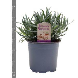 Topfpflanze online bestellen für Garten und Balkon bei Mrs Greenery Lavendel