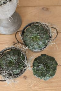 Sukkulente Mini Graptopetalum tacitus Grünpflanze Topfpflanze