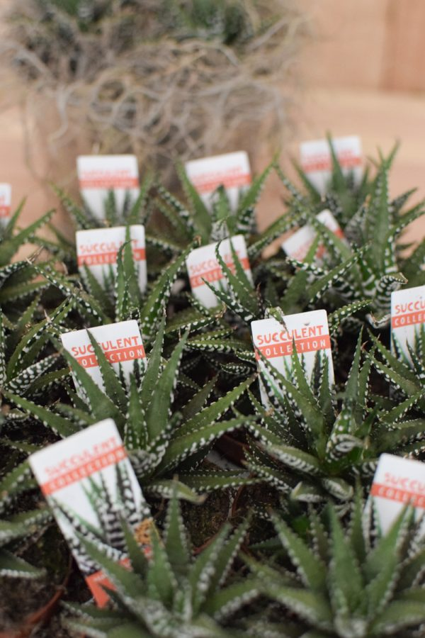 Sukkulente Mini Haworthia Grünpflanze Topfpflanze