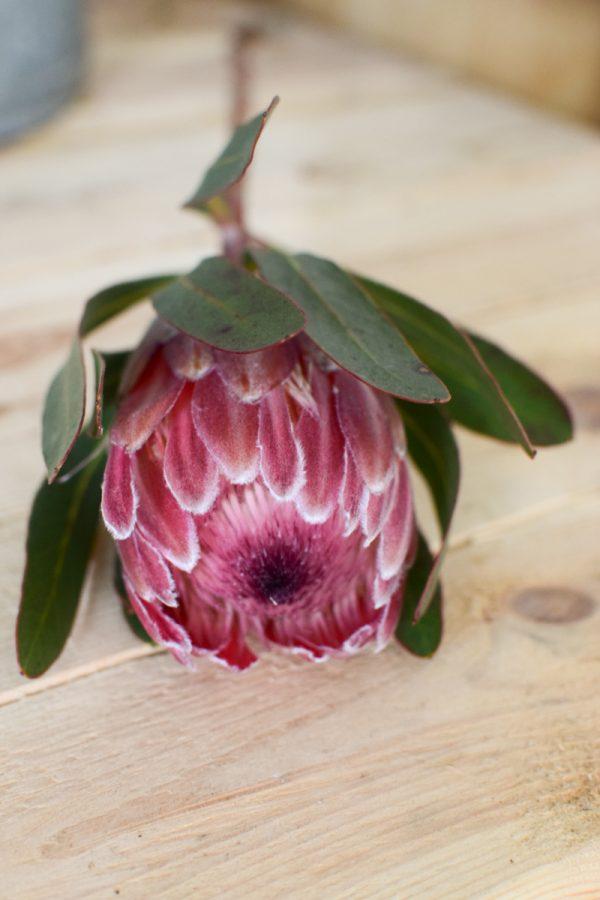Protea pink die Trendblume. Proteas trocknen toll ein und können immer wieder dekoriert werden.