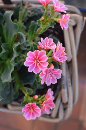 Topfpflanze online bestellen für Garten und Balkon bei Mrs Greenery Bitterwurz Porzellanröschen