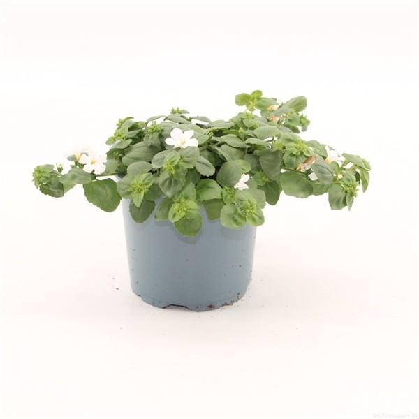 Topfpflanze online bestellen für Garten und Balkon bei Mrs Greenery Schneeflockenblume hängend