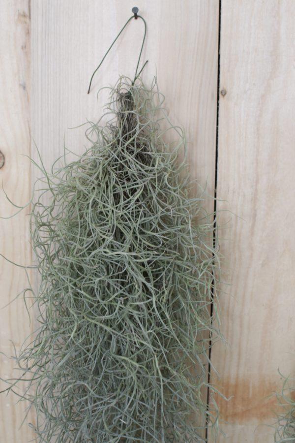 Tillandsien grau silber grün Tillandsie hängend frisch