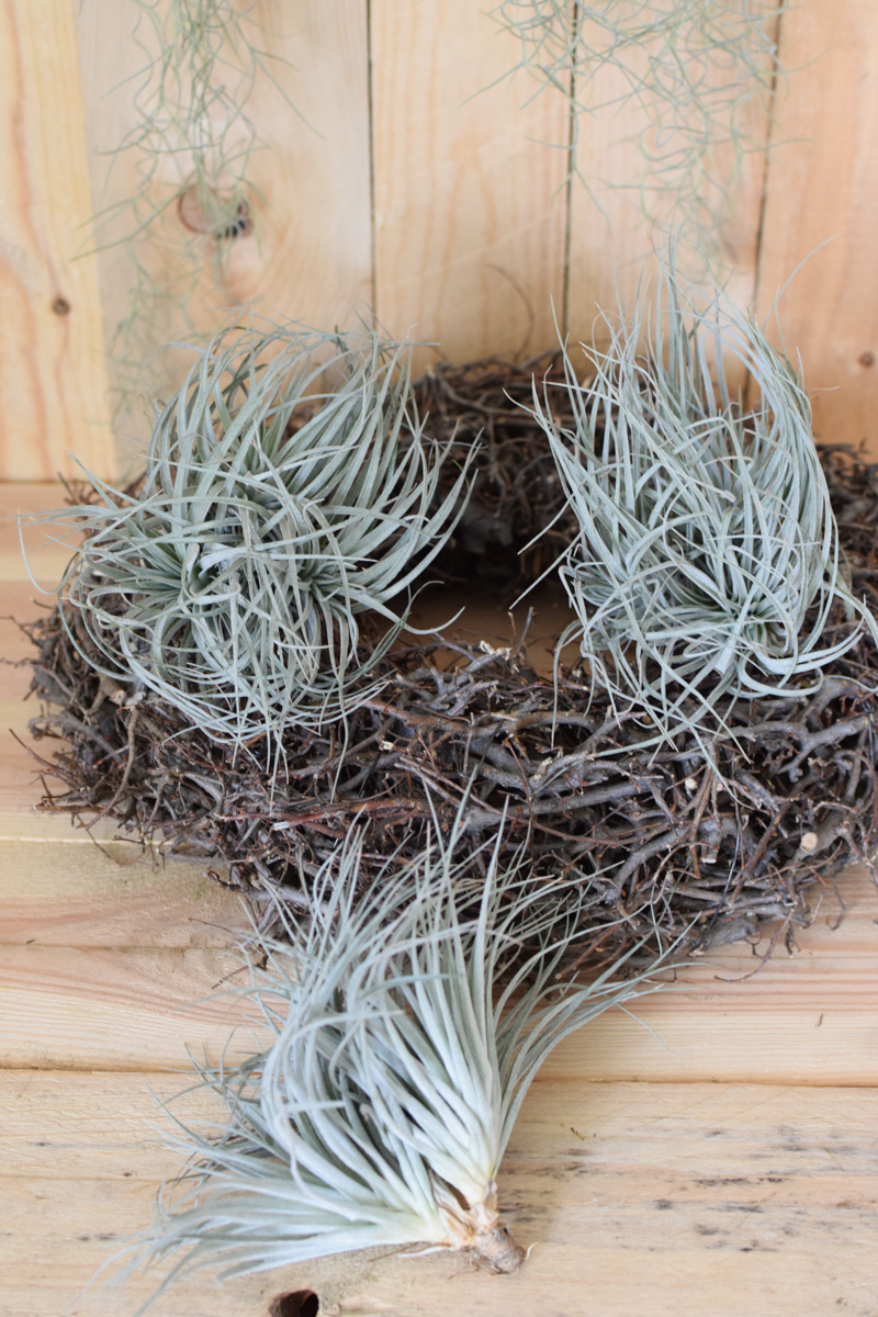 Tillandsien grau silber grün Tillandsie mbromelie