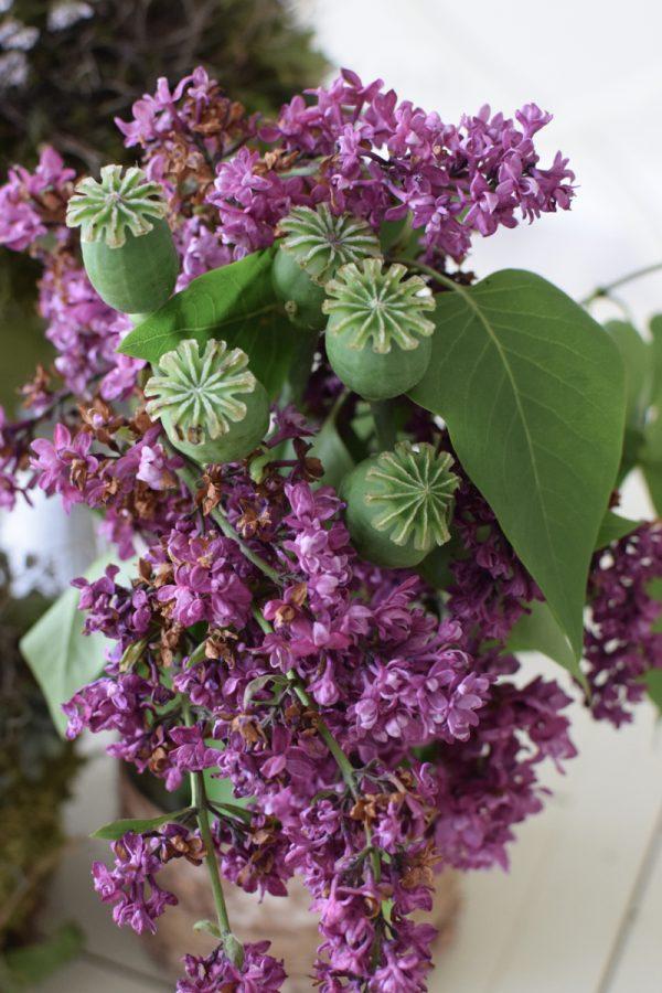 Mohn frisch, Mohnkapsel grün für deine Sträuße und Naturdekos Papaver