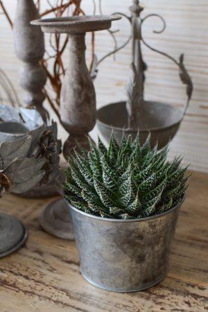 Aloe Zambezi Sukkulente stachelige Topfpflanze im Greenery Style