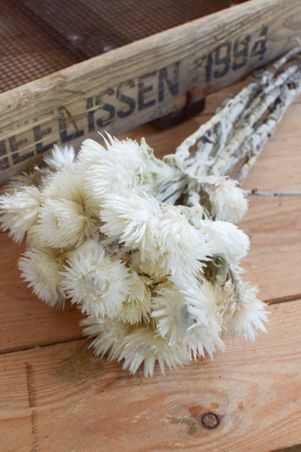 Capblume Trockenblume Stroßblume weiss getrocknet Naturdeko