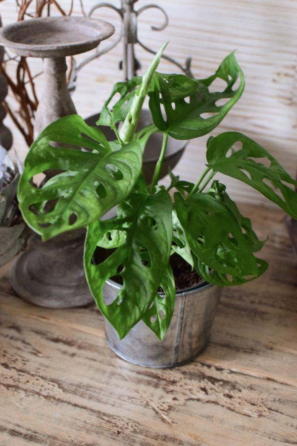 Monstera Obliqua Topfpflanze Grünpflanze Greenery im Topf