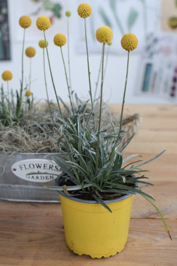 Craspedia Topfpflanze für den Garten Trommelstöcke frisch aus dem Mrs Greenery Shop