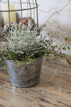 Topfpflanzen Mühlenbeckia mit Stacheldraht. Spätsommer Herbstdeko Greenery Dekorieren und Pflanzen Dekoidee