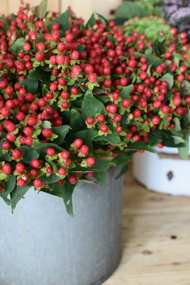 Hypericum rot ein Bund. Ganz frisch für deine Herbstdeko. Deko mit roten Beeren vom Mrs Greenery Shop. Johanniskraut bestellen