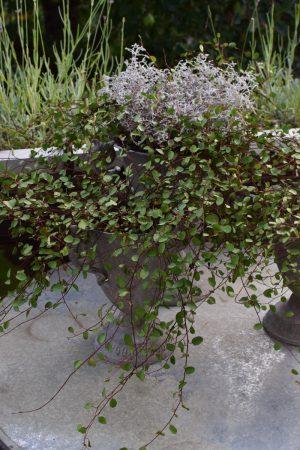 Mühlenbeckia: die Topfpflanze! Passt in jede Deko. Naturdeko Grünpflanze dekorieren Mrs Greenery Shop