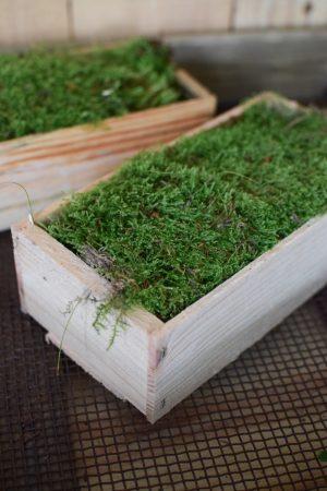 Frisches Moos in Holzkiste. Moosdeko frisch Kreativsein mit frischem Moos. Im Mrs Greenery Sho bestellen