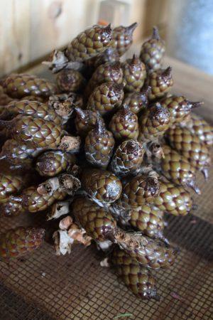 Raphia getrocknet Palmenfrucht Zapfen Dekozapfen exotisch zapfendeko Trockenblumen Fruchtstand im Mrs Greenery Shop bestellen